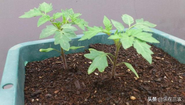 西红柿种植技术 - 花百科