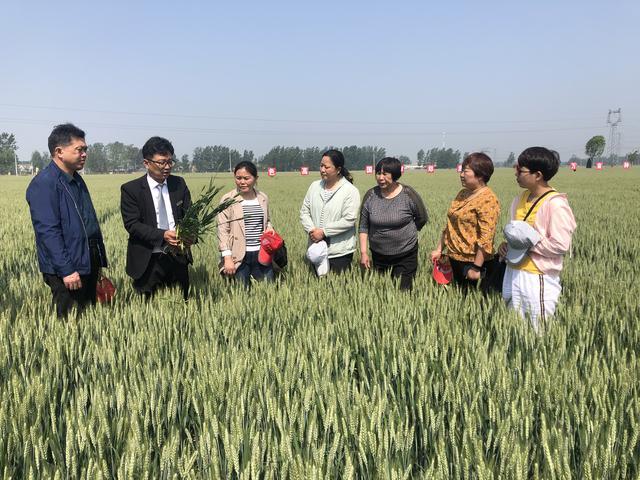 《新闻联播》连续两年报道,国审郑麦136成为黄淮麦区又一突破性品