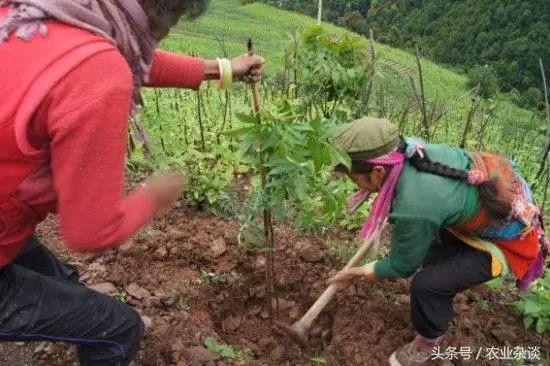 花椒的种植方法和管理方法是什么?
