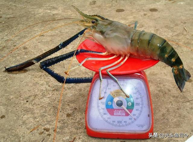 河虾图片大全图片欣赏