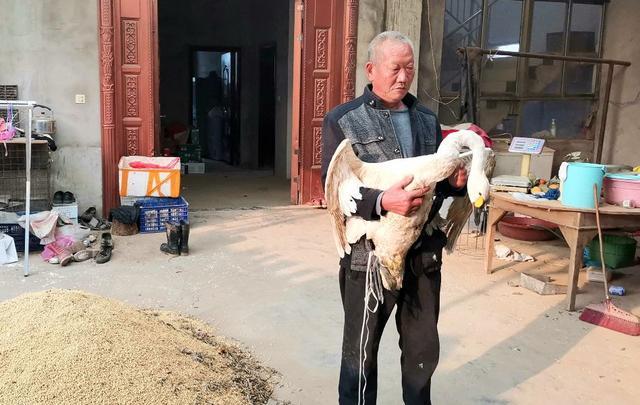 阜阳周棚农民救了一只大天鹅