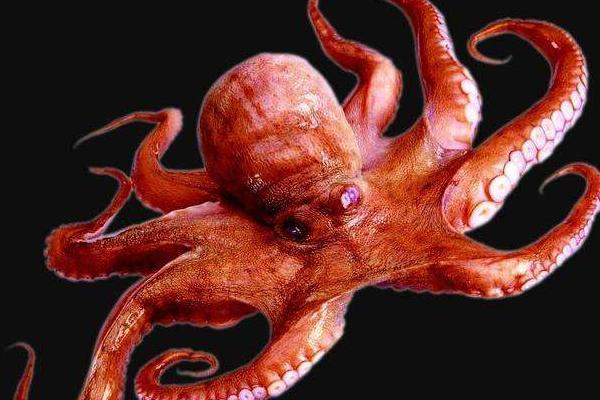 为什么科学家认为章鱼可能不是地球的生物?-第4张图片-IT新视野