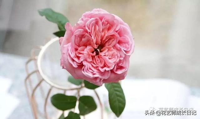 """多肉""""玫瑰族"""":它叫可爱玫瑰,太美,舍不得用来变白!"""