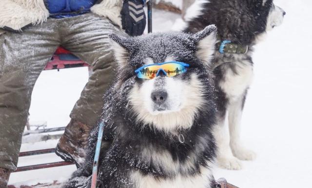 雪橇犬多哥图片