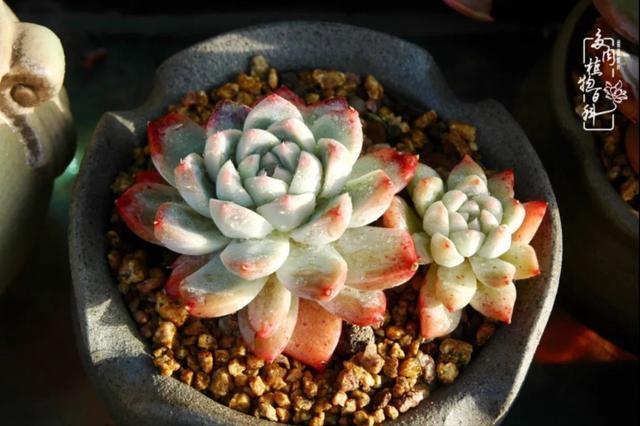 玉蝶锦多肉植物图片