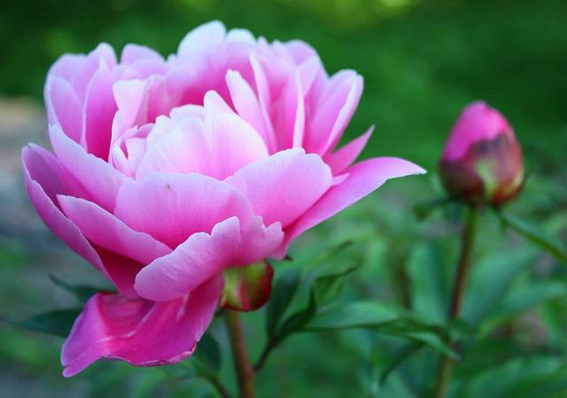 牡丹花种植有方法,这几种技巧花农要看看,花量惊人!
