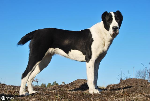 世界十大名狗排名 拉布拉多很讨人喜欢,牧羊犬... _排行榜123网