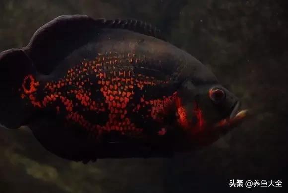 地图鱼分公母图解