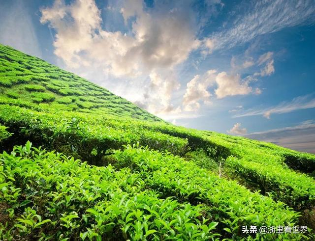 全国最好的绿茶