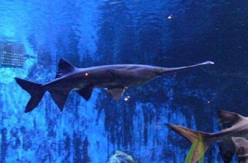 多数鱼有鼻孔,但不会使用来作呼吸,那么鱼的鼻子有什么用?