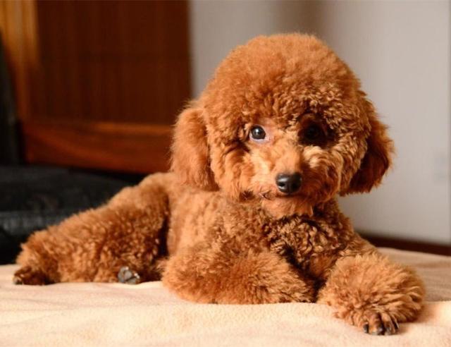 如何把泰迪狗的毛弄成蓬松的样?如何把泰迪狗 – 手机爱问