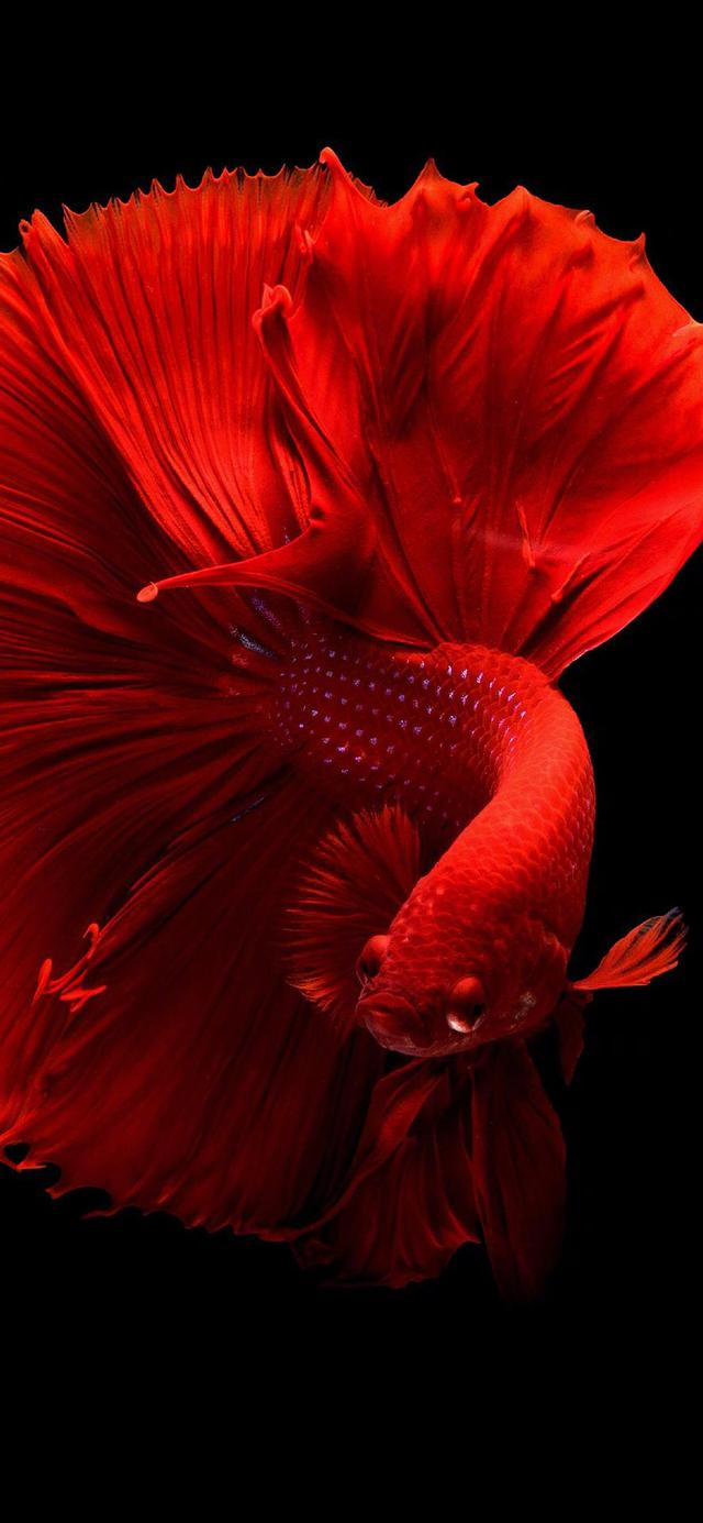 高清1080P壁纸:红色锦鲤,吉祥如意,好运连连!