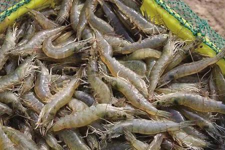 回忆我在日照帮人养虾的经历,看看老板是怎样五年败光1000万的