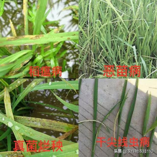 水稻绵腐病图片