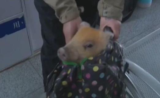 猪坐在车上玩小风车 - 斗图表情包 - 金馆长表... - doutula.com