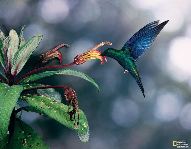 蜂鸟种类和图片大全