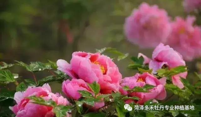 牡丹花的种植方法,什么方法不常用