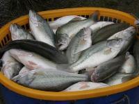 世界性的游钓鱼类,路亚上钩的主要品种---加州鲈鱼的养殖
