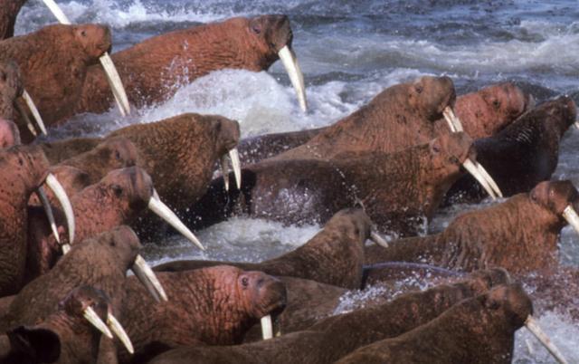 海豹海狮海象简笔画