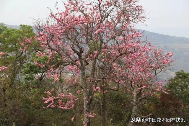 万紫千红树开花图