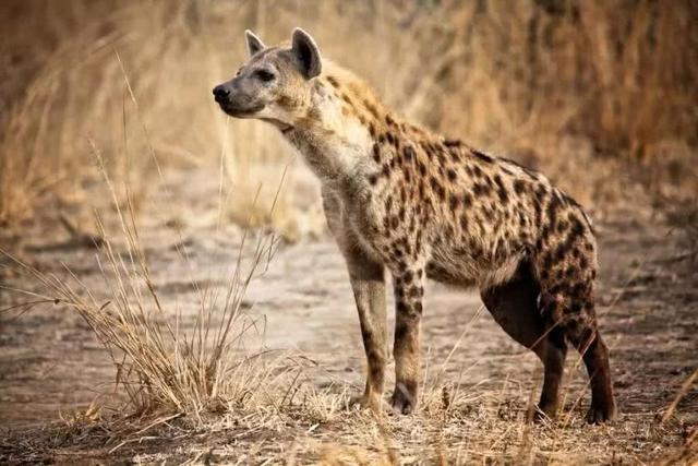 斑鬣狗为什么钟情于掏肛?
