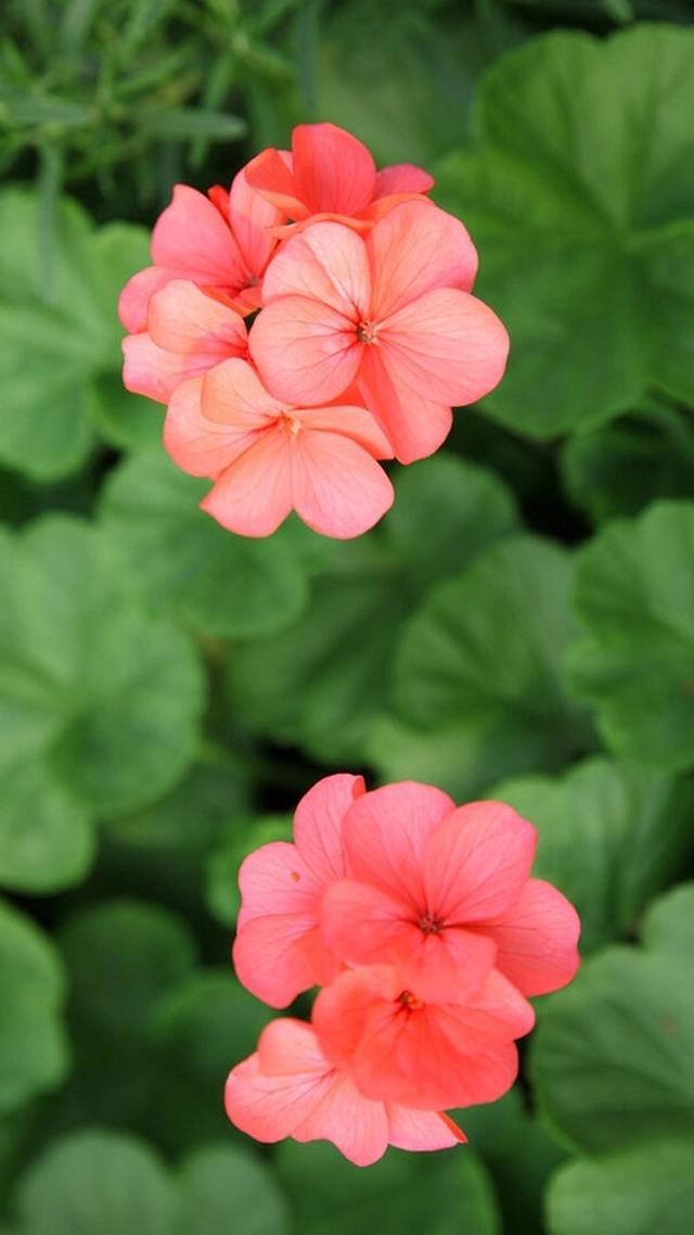 花朵手机壁纸大全唯美