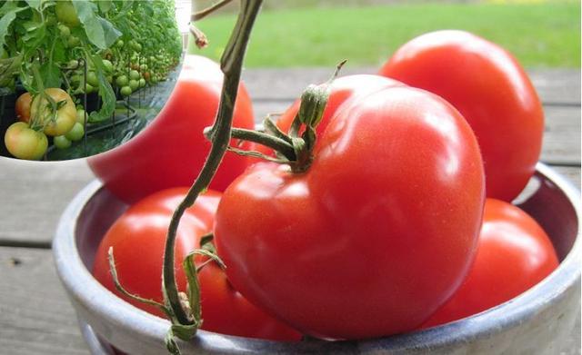 西红柿的种植方法和时间 - 花友之家