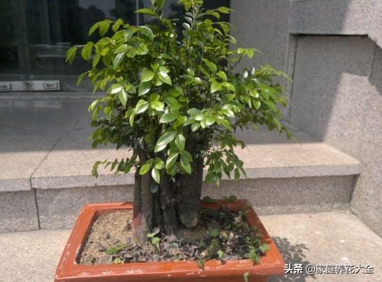 小叶紫檀树图片盆栽