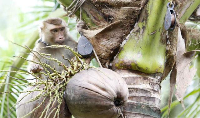 奴役猴子当劳力?泰国出口椰子遭英国抵制,超一万家店铺直接下架