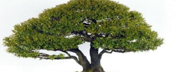 小叶紫檀原木