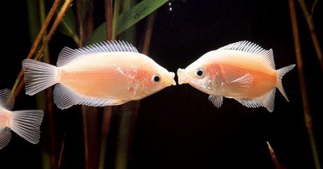 """接吻鱼以喜相互""""亲嘴""""而闻名,在鱼类世界中是一种罕见的现象"""