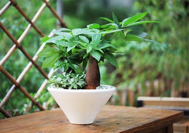 寓意好叶片宽大翠绿,家里养这几种绿植,摆在阳台正合适