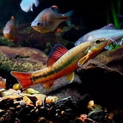 绚丽多彩的美丽本土小鱼:中国原生鱼简介和发展探讨
