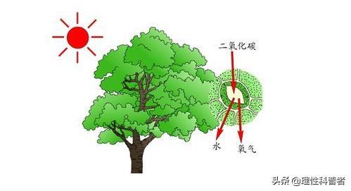 植物光合作用图片