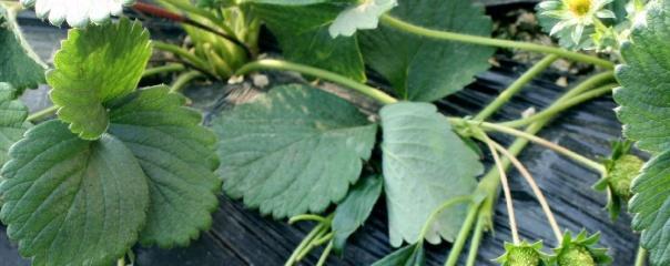草莓苗种植方法全过程