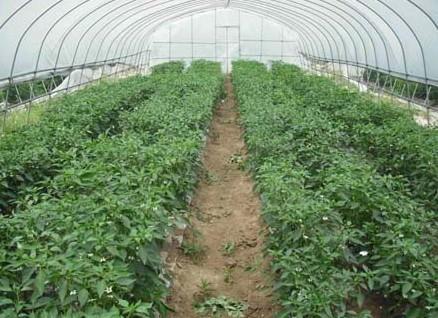 100米蔬菜大棚需投入20万元,一季尖椒就能回本?尖椒种植有技巧