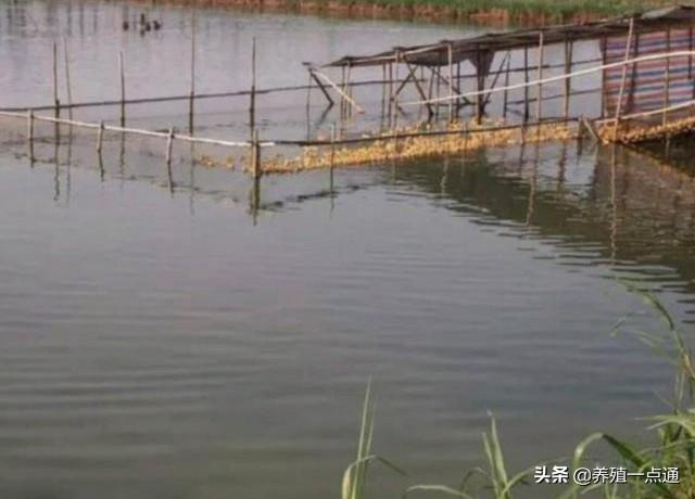 鱼塘养鸭应依主次调整密度,建立生态良性循环,模式决定效益