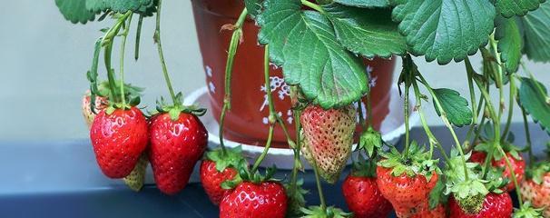 种植草莓的小技巧
