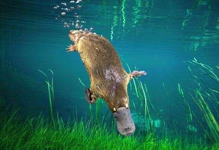 澳大利亚1500万年前巨型鸭嘴兽 - 神秘的地球 科学|自然|地理...