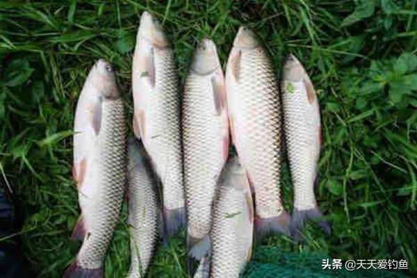 夏季草鱼的三种靠谱钓法
