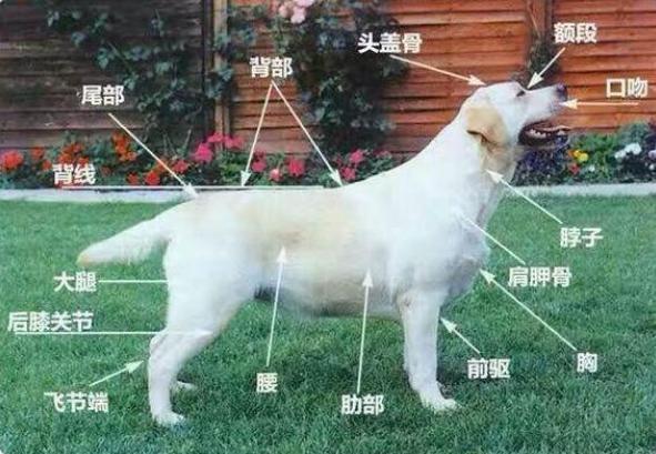 【图片】成年拉布拉多怎么养-成犬-淘狗网