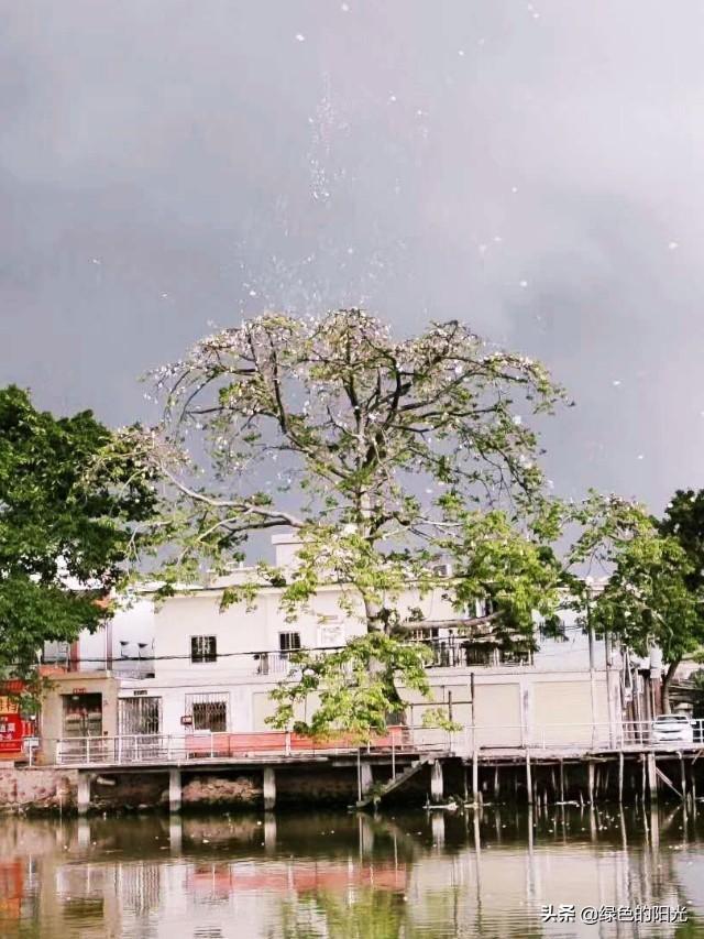起风了,你见过这样壮美的木棉树吗?