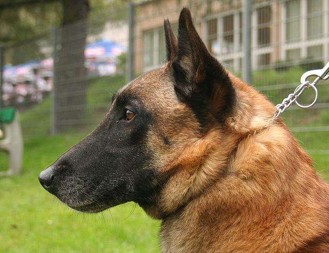 英国军犬执行任务突然犯病停止呼吸,士兵嘴对嘴人工呼吸救狗一命