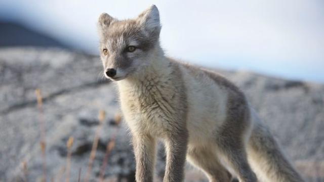 来自科学家的惊讶:北极狐在斯瓦尔巴群岛上在76天,前行3506公里