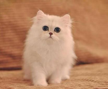 想买猫,但猫咪的入手年龄让人纠结,你应该了解奶猫和幼猫的区别