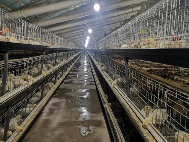 土杂鸡的采食量计算公式