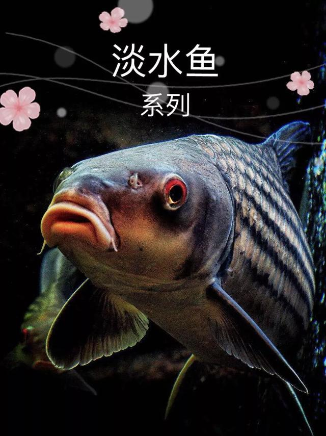 胡子鲶(塘角鱼)好吃又好养,但还是要注意这六点养殖建议