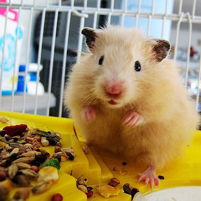 西施熊——适合孩子喂养的小宠物