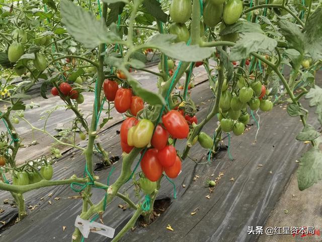 """""""500强企业工程师辞职回乡种番茄""""上热搜!回应:目前有16亩番茄,一亩每年赚5万,种植技术正在申请专利"""