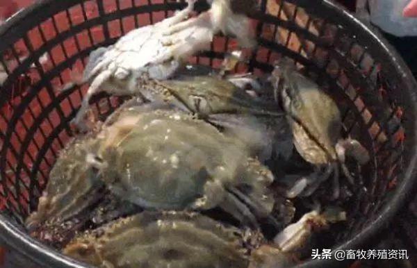 梭子蟹与螃蟹的区别在哪里?